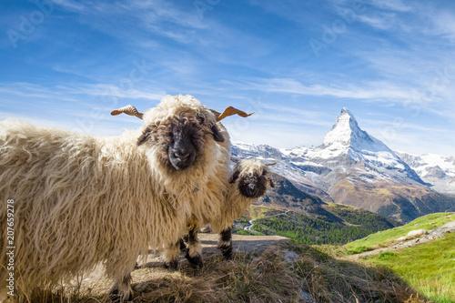 Walliser Schwarznasenschaf Vor Dem Matterhorn In Zermatt Schweizer