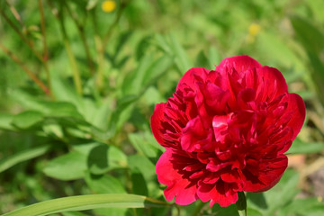Red peony against green grass on a sunny day