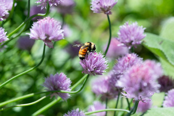 Female Bumblebee collecting nectar from chive flowers