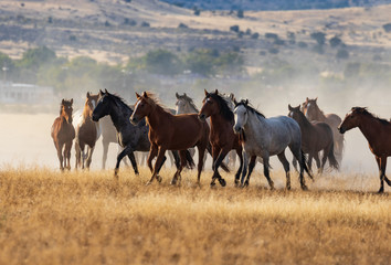Herd of Wild Horses Running in the Desert