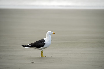 Kelp gull on beach sand