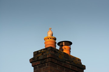 angry looking pigeon sat on orange clay and red brick chimney pot in England with bright blue sky and space for caption at sunrise