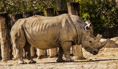 Great one-horned rhinoceros photographed from the side (Rhinoceros unicornis)