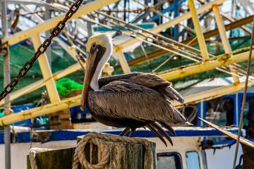 Biloxi pelican watching