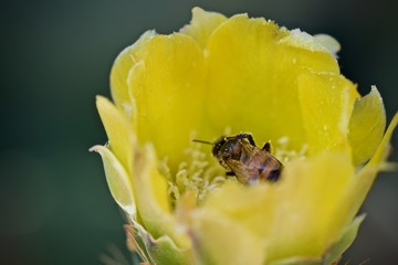 Image of bee or honeybee on yellow flower collects nectar. Golden honeybee on flower pollen. Insect. Animal.