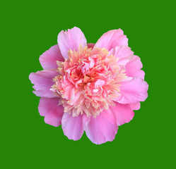blooming flower pink peony close-up, top view isolated on green background