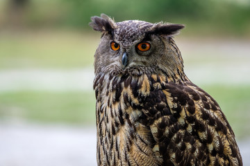 Photo Blinds Owl Portrait of an Eurasian Eagle Owl