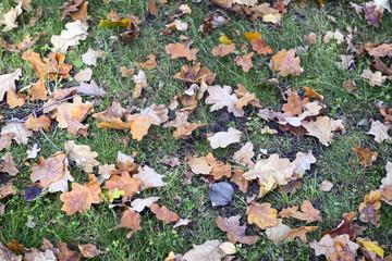 Fallen from the tree autumn oak leaves .