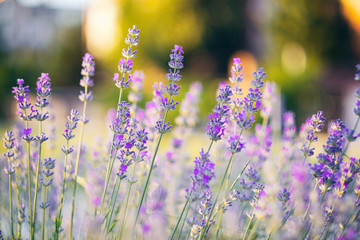 Vivid purple lavender flowers are blooming in the herb garden