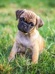 a cute baby pug chihuahua mix puppy playing in the grassy clover during summer