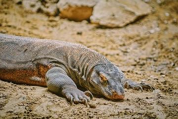 Portrait of Monitor Lizard
