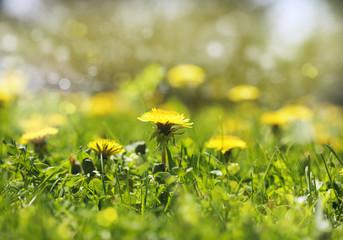 Meadow Of Dandelions