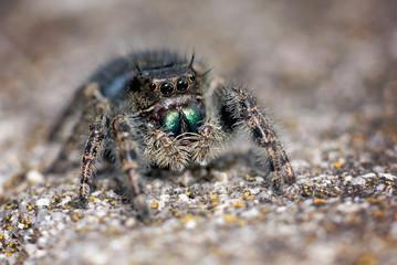small jumping spider macro shot