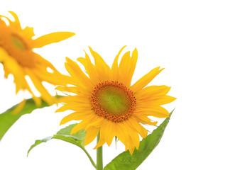 Fototapeta Sunflowers, on an outdoor plantation