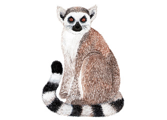 Lemur on white background. Watercolor illustration.
