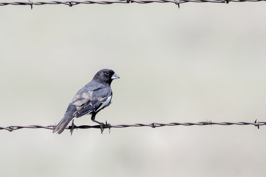 Male Lark Bunting (Calamospiza melanocorys) Perched on Barbed Wire on the Grasslands of Colorado