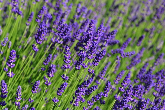 Lavender flowers Lavandula spica blossoming in garden bed during spring season, afternoon sunshine.