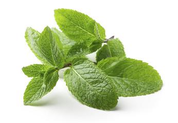 single twig of fresh mint leaves isolated on white background