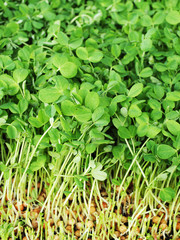 Close up of pea shoots