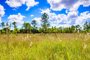 Everglades Pine Tree