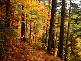 Colorful trees deep in the woods during a Quebec Indian Summer - Autumn