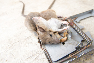 rattrap killer