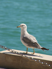 Seagull at dock