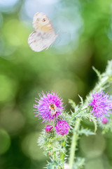 the butterfly and the bee on a thistle flower