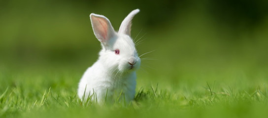 Baby white rabbit in grass