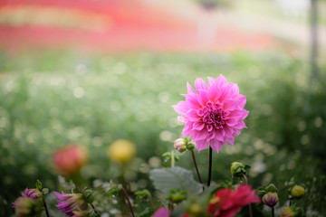 Beautiful pink Dahlia flower in the green garden
