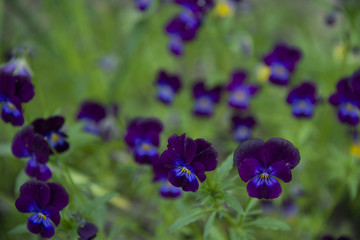 Violets on a dark green background