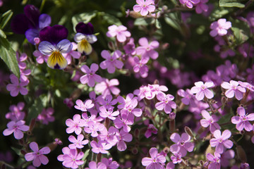 Purple small flowers on a dark green background