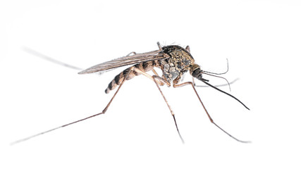 Common Mosquito isolated on white.