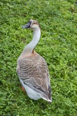 swan goose - Anser cygnoides close up in the garden
