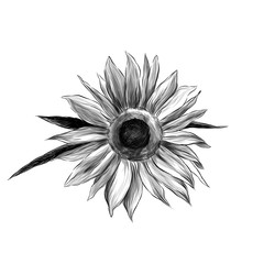 sunflower flower on white background, sketch vector graphics monochrome illustration