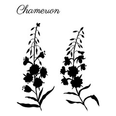 Willow herb, Chamerion angustifolium, fireweed, rosebay hand drawn botanical illustration, vector flower decorative black silhouette, design bouquet for packaging tea, greeting card, medicine plant