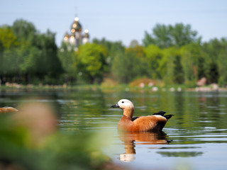 Beautiful redhead duck floating in the pond