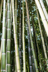 Bamboo cultivation, bamboo logs in full growth, dense wood production for the production of carpentry materials. and interior supplies of bamboo, raw material. Green and light brown bamboo forest