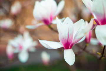 Magnolia flowers blossomed in the garden. The beginning of spring. Nature and plants. Botany