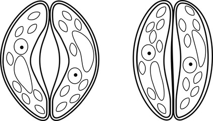 Coloring page. Guard cells of stoma