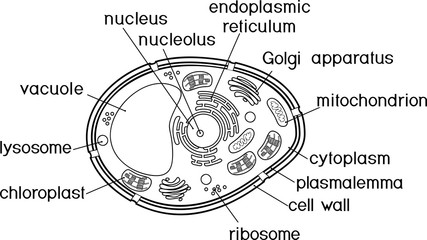 Coloring page. Plant cell structure with titles
