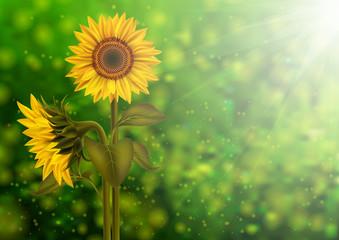 Sunflowers on bokeh background