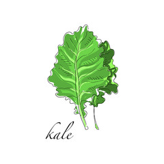 Kale fresh culinary plant, green seasoning cooking herb for soup, salad, meat and other dishes hand drawn vector Illustrations on a white background