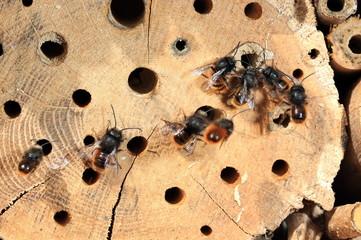 Wildbienen drängeln sich Nest
