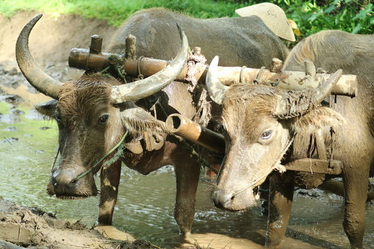 Farmers plows rice fields. Indonesian culture traditional plowing with buffalo.