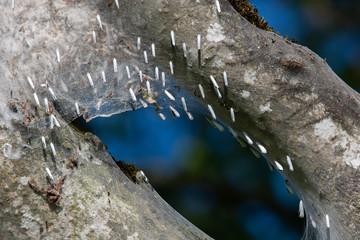 Gespinstmotten, voll versponnener Baum