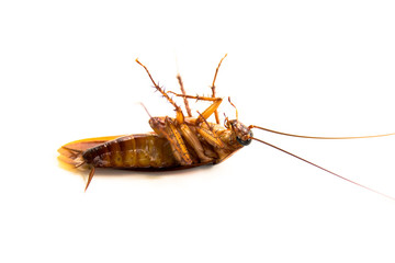 Closeup lie supine cockroach dead isolate on white background