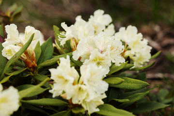 Beautiful white rhododendron flowers closeup
