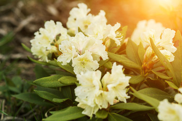 Beautiful white rhododendron flowers closeup in the sun