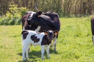 Veau et vache Pie Noire au pré